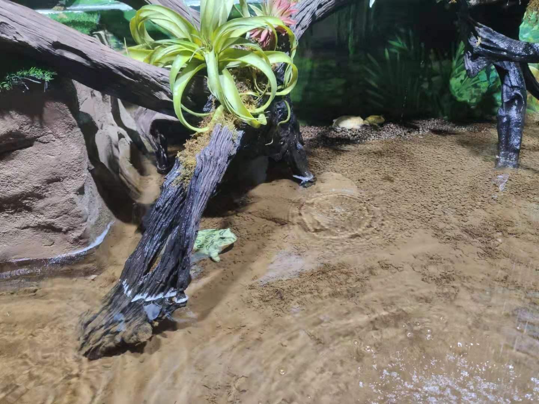 南美角蛙.jpg